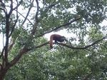 小熊猫の木登り 19091926.jpg