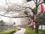 上沼公園の桜 19040992.jpg