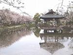 上沼公園の桜 19040997.jpg