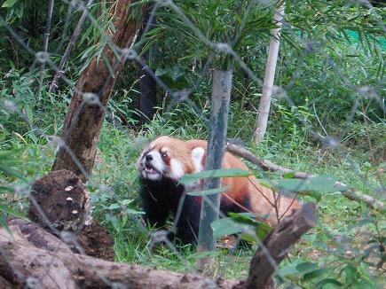 野生の小熊猫 19091920.jpg
